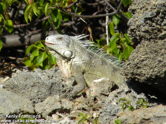 Iguana at Shete Boka National Park