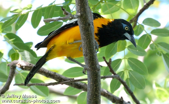 Curacao Bird: Troupiale
