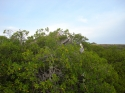 PELICAN IN THE MANGROVES CURACAO